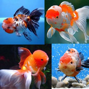 4-5'' High Grade Lion Head Oranda