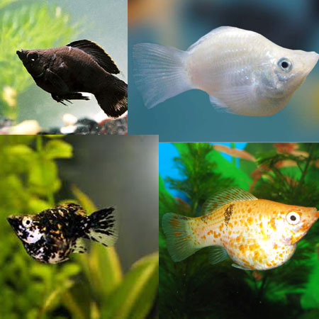 Assorted balloon molly aquatics to your door for Molly fish food