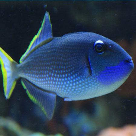 adult blue throat triggerfish