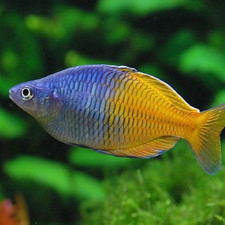 Boesmani rainbow aquatics to your door for Community freshwater fish