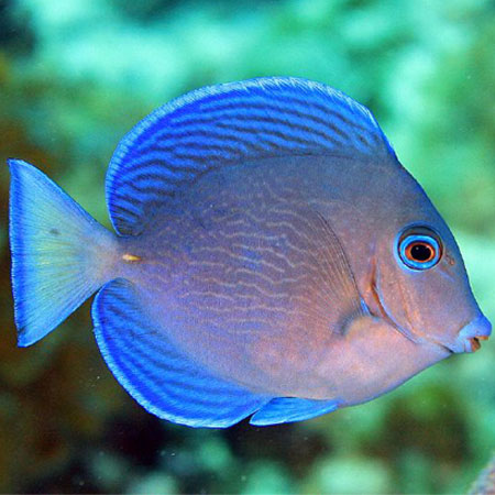 Caribbean blue yellow tang m pre order aquatics to your door for Blue tang fish facts