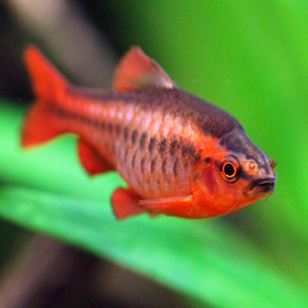 Cherry barb aquatics to your door for Cherry barb fish
