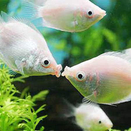 Kissing gourami small aquatics to your door for Kissing gourami fish