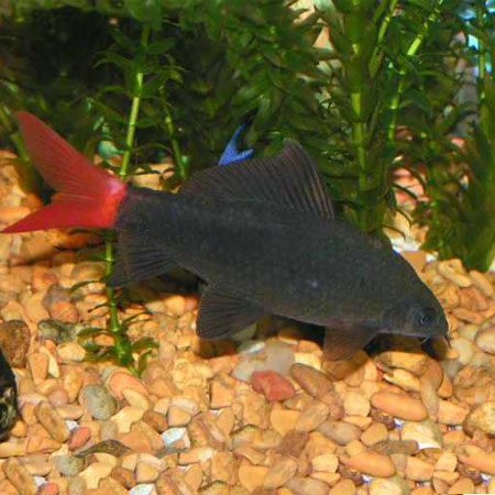 Red tail black shark aquatics to your door for Shark tail fish