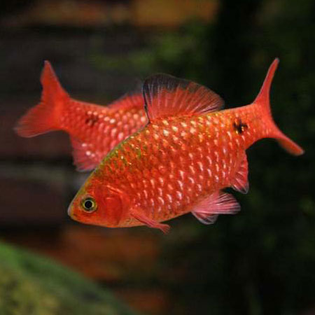 Rosy barb large aquatics to your door for Gold barb fish