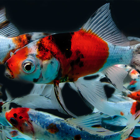Shubunkin 3 4 39 39 aquatics to your door for Shubunkin fische