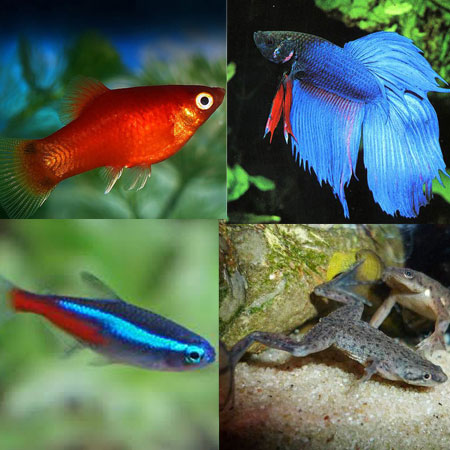 Small tropical tank filler pack 5 aquatics to your door for Small fish pictures