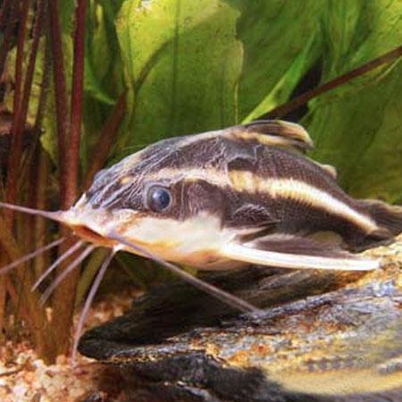 Striped raphael catfish aquatics to your door for Order aquarium fish online
