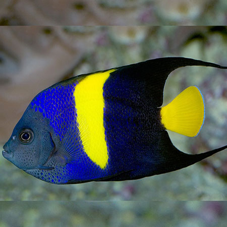 Asfur angelfish pre order aquatics to your door for Fish compatible with angelfish