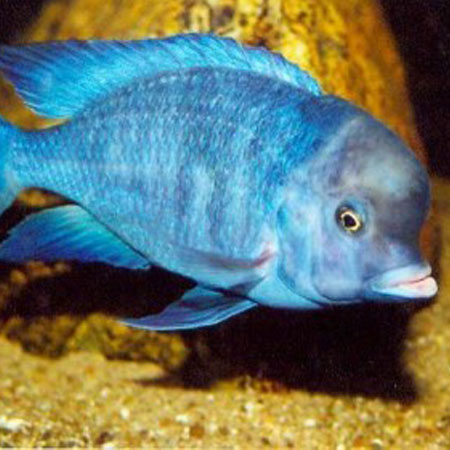 Blue dolphin cichlid 4 6cm aquatics to your door for Cichlid fish for sale