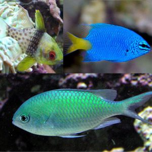 Damsels, Chromis and Cardinals