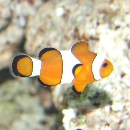 Common clownfish aquatics to your door for Clown fish price