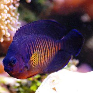 Marine angelfish aquatics to your door for West marine fish finders