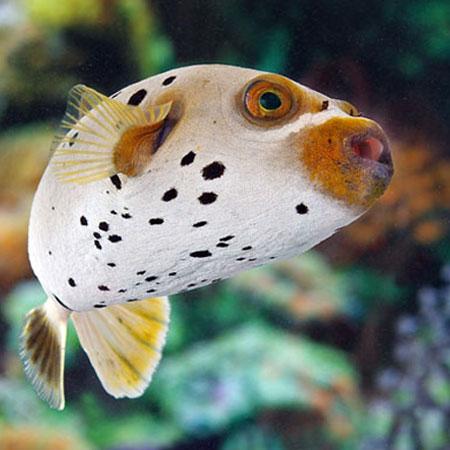 Dog face puffer large aquatics to your door for Dog face puffer fish