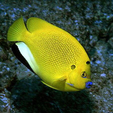 Flagfin Angelfish | Flagfin Angelfish Pre Order Aquatics To Your Door