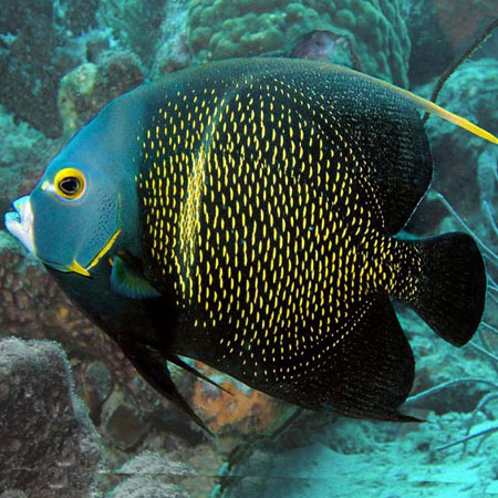 French angelfish adult pre order aquatics to your door for Fish compatible with angelfish