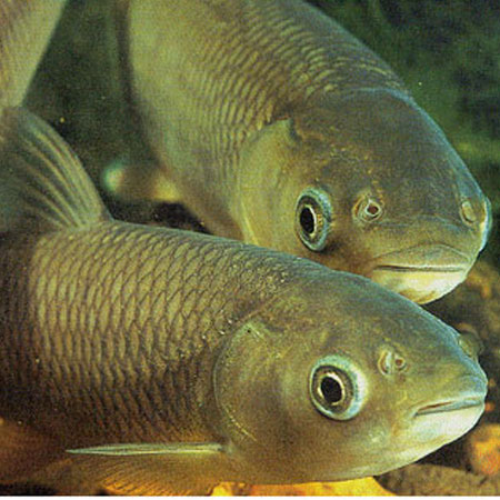 Green grass carp 4 5 39 39 aquatics to your door for Outdoor fish for sale