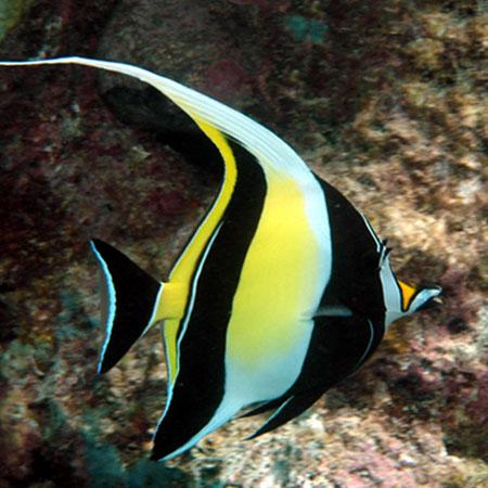 Moorish idol large aquatics to your door for Best white fish to eat