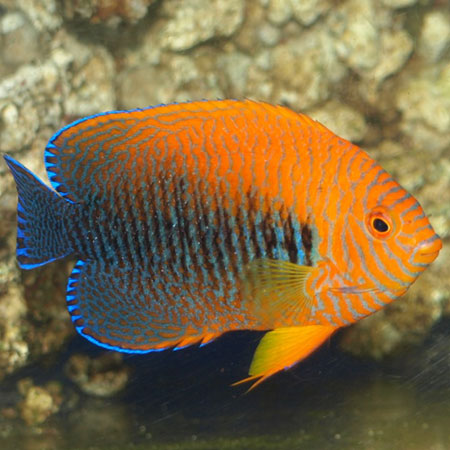 Potters dwarf angelfish pre order aquatics to your door for Fish compatible with angelfish