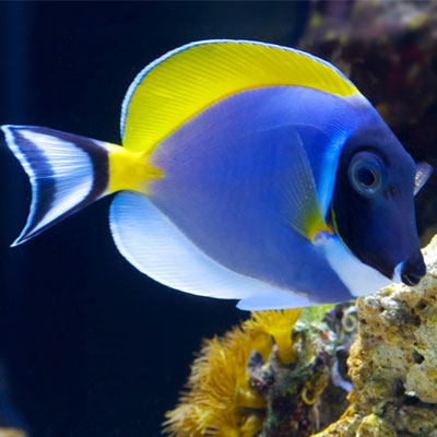Powder blue tang small aquatics to your door for Blue tang fish facts