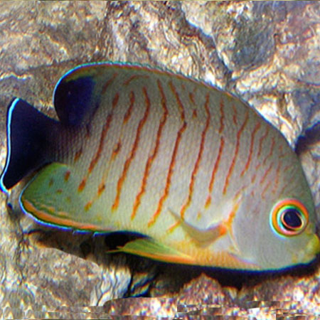 Red stripe dwarf angelfish aquatics to your door for Fish compatible with angelfish