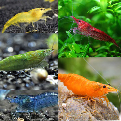 Assorted tropical shrimps aquatics to your door for Large peaceful community fish