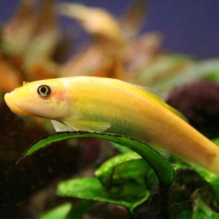 Gold algae eater aquatics to your door for Fish that eat algae