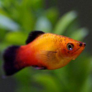 tropical passive community fish aquatics to your door. Black Bedroom Furniture Sets. Home Design Ideas