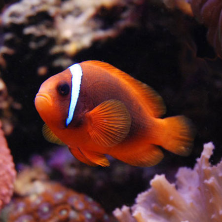 Plum tomato clownfish aquatics to your door for Clown fish price