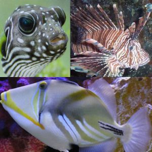 Triggers, Puffers and Lionfish