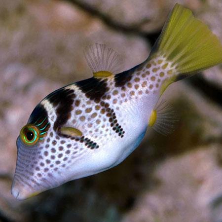 Valentino puffer aquatics to your door for Puffer fish diet
