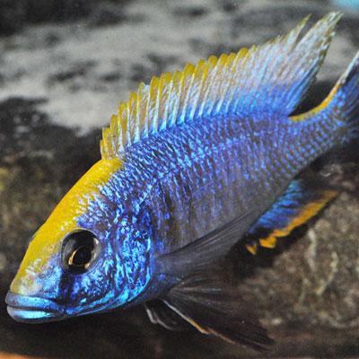 Apache Peacock 7-8cm