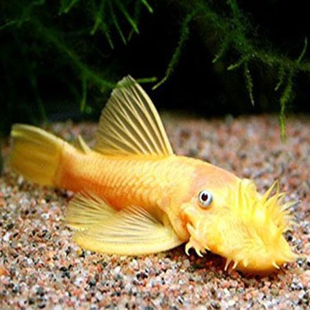 Albino Bristlenose Pleco TANK BRED 7-8cm