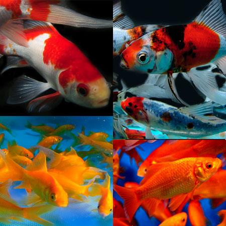 3/4'' Assorted Goldfish Mix of 40