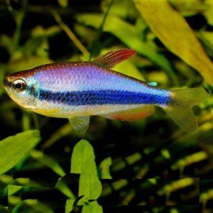 Blue Emperor Tetra