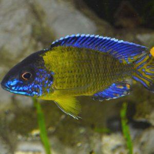 Blue Neon Peacock 6.5cm