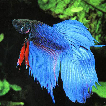 Blue Siamese Fighter Tropical Fish