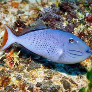 Caribbean Redtail Trigger PRE-ORDER