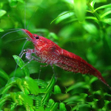 Cherry Fire Shrimp