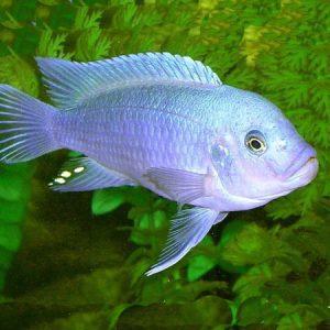Cobalt Blue Zebra 4/6cm