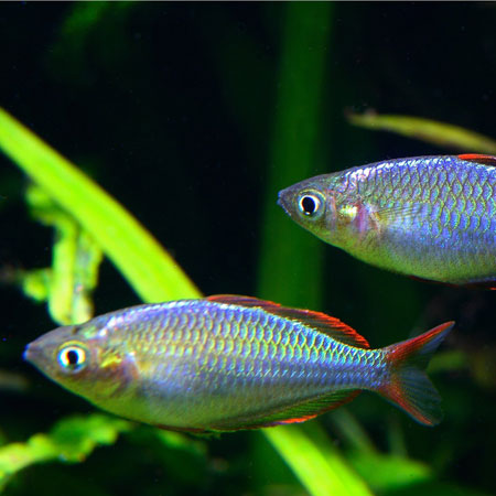 Dwarf Neon Rainbowfish Tropical Fish