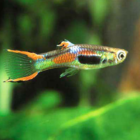 Endler's Guppy (Orange Male)