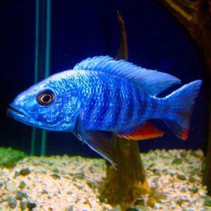 Electric Blue Cichlid 7/8cm