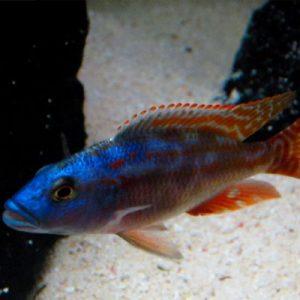 Fusco Haplochromis