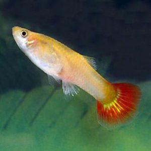 Female Guppy