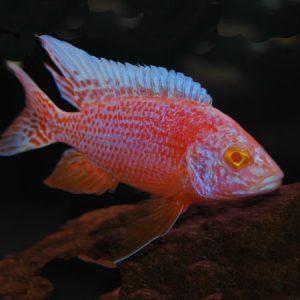 Red Eye Strawberry Peacock  7/8cm