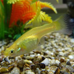 Endler's Guppy (Gold Female)