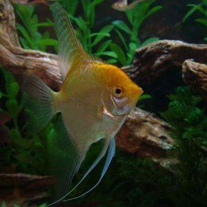 Gold Angelfish Sml/Med