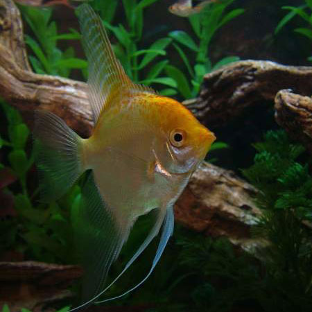 Gold Angelfish Sml/Med