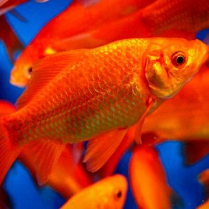 Goldfish 3/4''